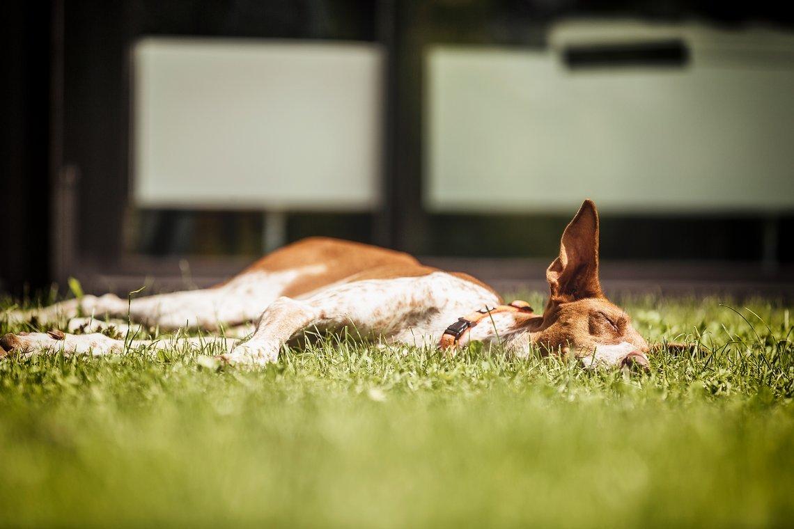 Unser Redaktionshund Pina hat einen eher einfachen Zeitplan – schlafen, rennen, fressen, schlafen. Gerne auch in unterschiedlicher Reihenfolge.