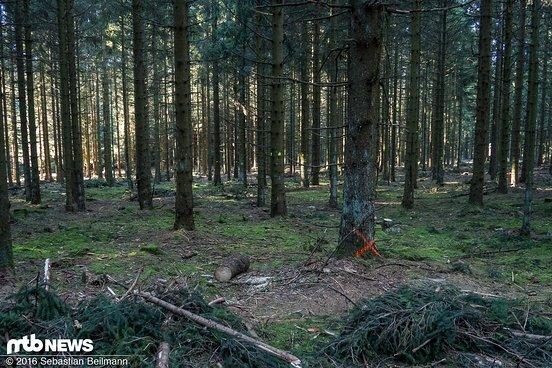 ... und der Wald wird hier bereits etwas ausgedünnt